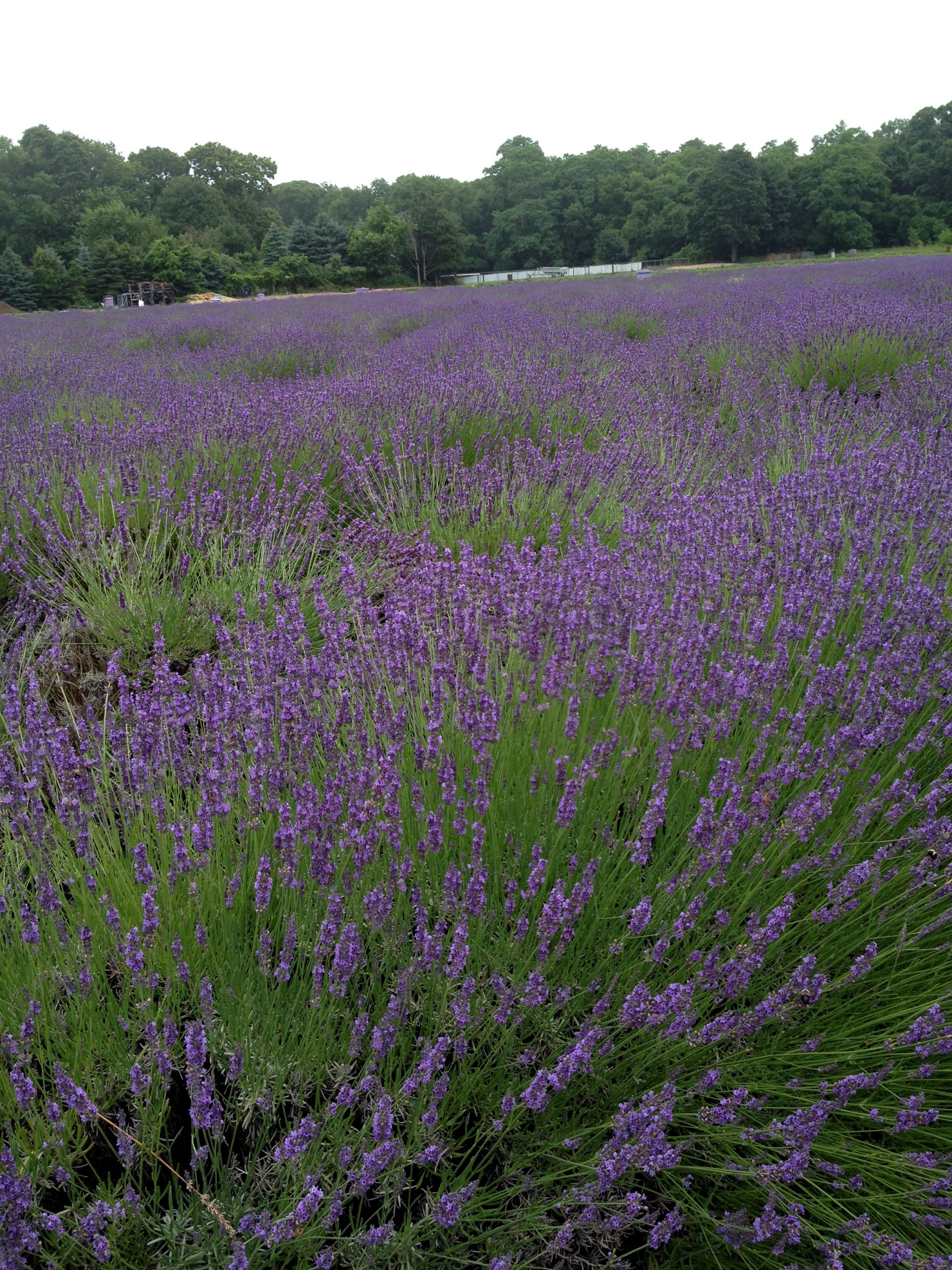 Experience Peace and Serenity with Lavender Oil